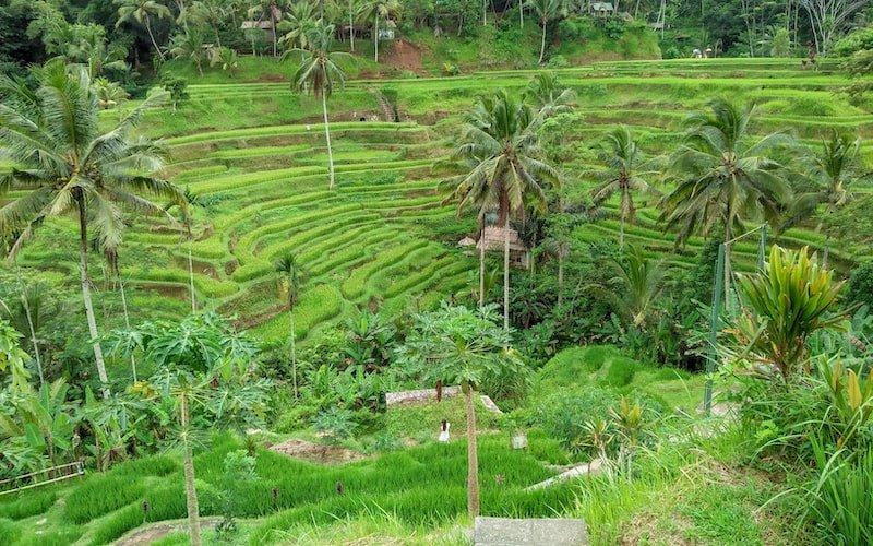 Tegelalang Rice terrace in Ubud, Bali