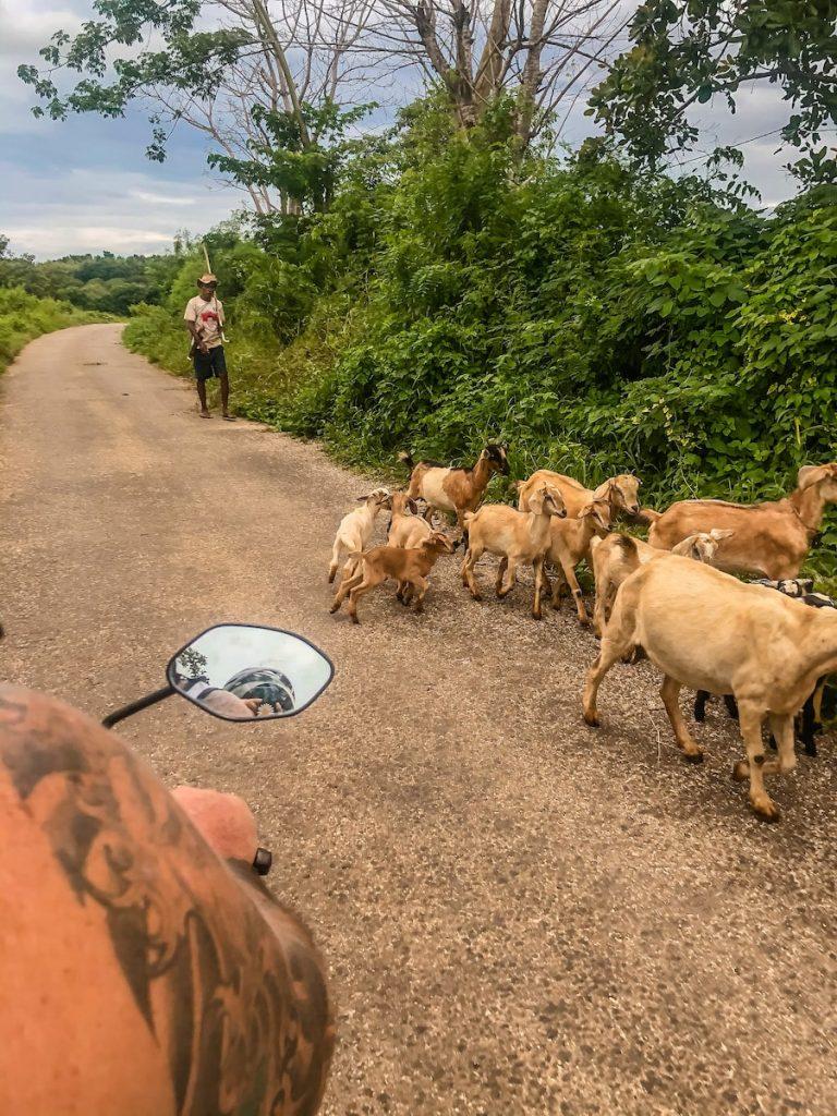 Animals roaming around the roads of Sumba