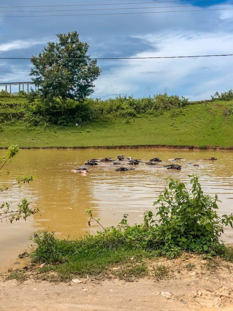 Bathing buffalos