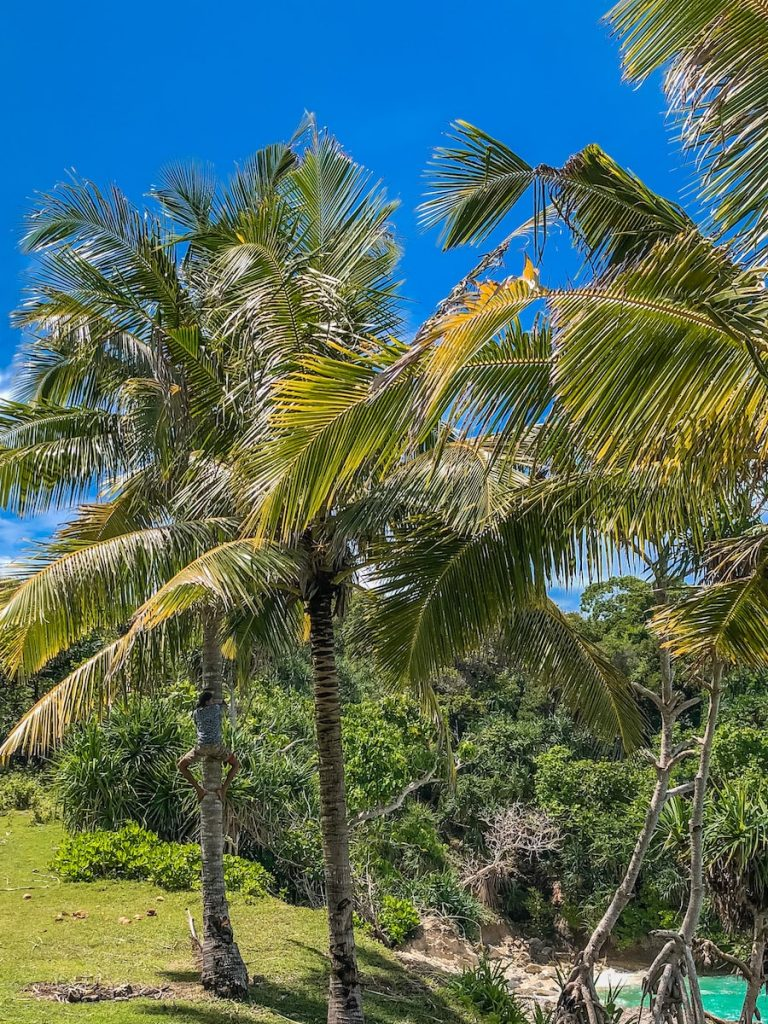 Teenage Indonesian tour guides climbing up a tree to fetch fresh coconuts at Watu Bela Beach